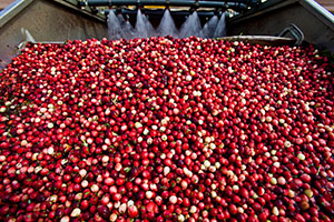 141104-Week-10-Fall-cranberry-harvest-10